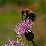Flying Bombus pascuorum around the flowers Royalty Free Stock Photography
