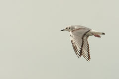 Flying Bonaparte's Gull Stock Images