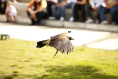 Flying bonelli�s eagle Stock Image