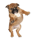 Flying Boxer puppy Stock Images