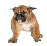 Flying Boxer puppy Royalty Free Stock Photography