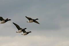 Flying brant geese. (Branta bernicla), Jamaica Bay Wildlife Refuge, NY Stock Photography