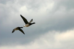 Flying brant geese. (Branta bernicla), Jamaica Bay Wildlife Refuge, NY Royalty Free Stock Photos