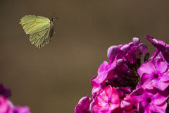 Flying brimstone butterfly. A flying brimstone butterfly approaching a pink flower stock image