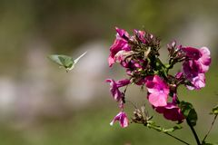 Flying brimstone butterfly Royalty Free Stock Images