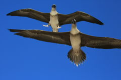 Flying Red-Footed Booby Juveniles Stock Photo