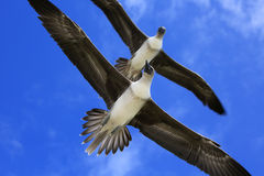 Flying Red-Footed Booby Juveniles Stock Photos