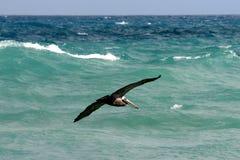 Flying Brown Pelican Stock Images