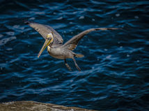 Flying Brown Pelican, La Jolla, California Royalty Free Stock Image