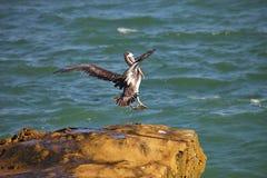 Flying  Brown Pelican, Pelecanus occidentalis,  Paracas - Peru Royalty Free Stock Photo