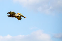 Flying Brown Pelican Royalty Free Stock Images