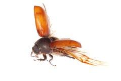 Flying brown scarab beetle Stock Photos