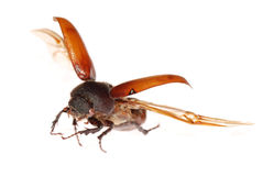 Flying brown scarab beetle Royalty Free Stock Image