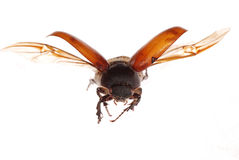 Flying brown scarab beetle Royalty Free Stock Images