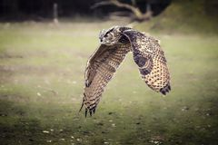 Flying bubo owl. In nature Stock Image