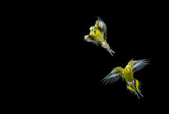 Flying budgie. Two green budgies in flight shot on a black background Royalty Free Stock Photos