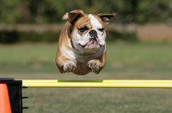 Flying bulldog stock photography