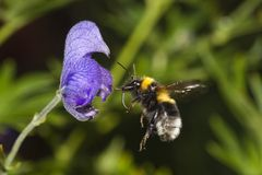 Flying bumble bee. A bumble bee in flight Stock Photo