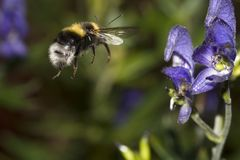 Flying bumble bee. A bumble bee in flight Stock Image