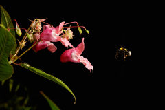 Flying bumblebee. Bumblebee approaching to flower on black background Royalty Free Stock Photos