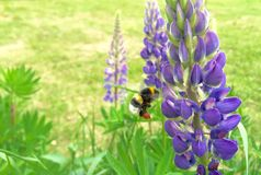 Flying bumblebee pollinates the blooms. A humble-bee fertilizes the plants on the meadow stock images