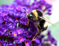 Flying Bumblebee With A Purple Lupine Royalty Free Stock Image