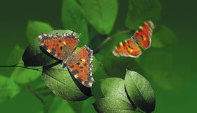 Flying butterflies. Above the leaves Stock Photos