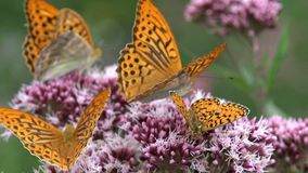 Flying Butterflies, Butterfly on Flower in Nature, Garden View with Insects.  stock video