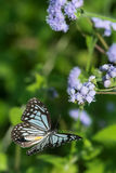 Flying Butterfly. Flying Blue Glassy Tiger Butterfly Stock Photos