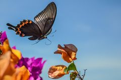 Flying Butterfly. Colorful Flying butterfly Stock Images