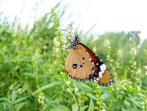 Flying BUTTERFLY royalty free stock photo