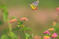 Flying butterfly Stock Image