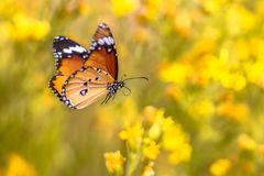 Flying butterfly Plain tiger. Flying Plain tiger or African monarch butterfly (Danaus chrysippus) on yellow flower environment background royalty free stock images