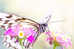 Butterfly sucking nectar of pink flower royalty free stock images
