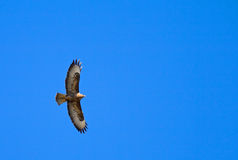 Flying buzzard (aka buteo buteo) on blue sky Stock Photography