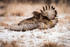 Flying buzzard. Flying bird with extended wings, brown bird with a hooked beak, predator on the prowl, Europe Stock Photo
