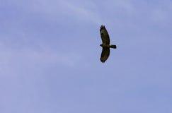 Flying Buzzard Royalty Free Stock Photo