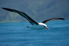 Flying Campbell Island Albatross Stock Photography