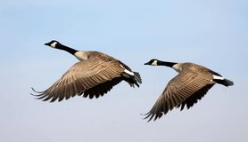 Flying Canada Geese. Against a blue sky background royalty free stock photo