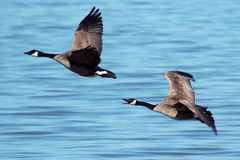 Flying Canada Geese stock images