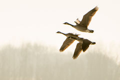 Flying Canada Geese. A small group of Canada Geese fly by early morning Royalty Free Stock Images
