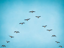 Flying Canada Geese in V formation. A flock (skein) of Canada geese flying in V formation for effective energy conservation. Vintage look. Location: Lund Stock Images