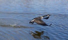 Flying Canada Goose stock photo