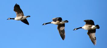 Flying canadian geese in formation during migration flight. In Chicago Royalty Free Stock Images