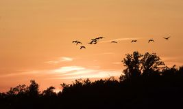 Flying Canadian Geese Team at Sunset Stock Image