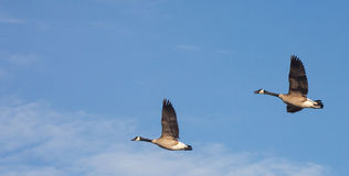 Flying Canadian Geese. Two geese birds flying in blue sky stock image