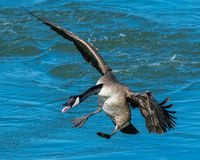 A flying Canadian Goose preparing to land in water Royalty Free Stock Photography