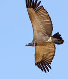 Flying Cape Vulture Stock Photography
