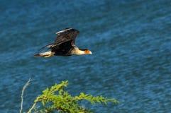 Flying Caracara. An image of a flying caracara bird Royalty Free Stock Photos