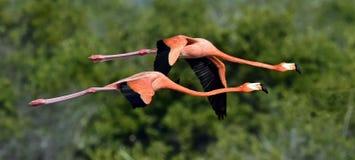Flying Caribbean flamingos (Phoenicopterus ruber) Stock Image